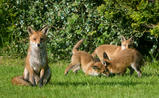Vixen and Fox Cubs