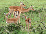 Impala with young