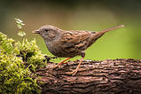 Dunnock by Michael Myers