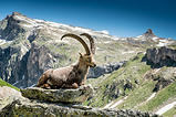 Ibex by Michael Myers